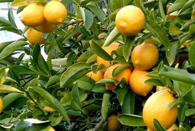 Μεγαλέμπορος: Να μην κόψεις ούτε ένα κιλό λεμόνια! Πρώτα θα τελειώσουν τα τούρκικα